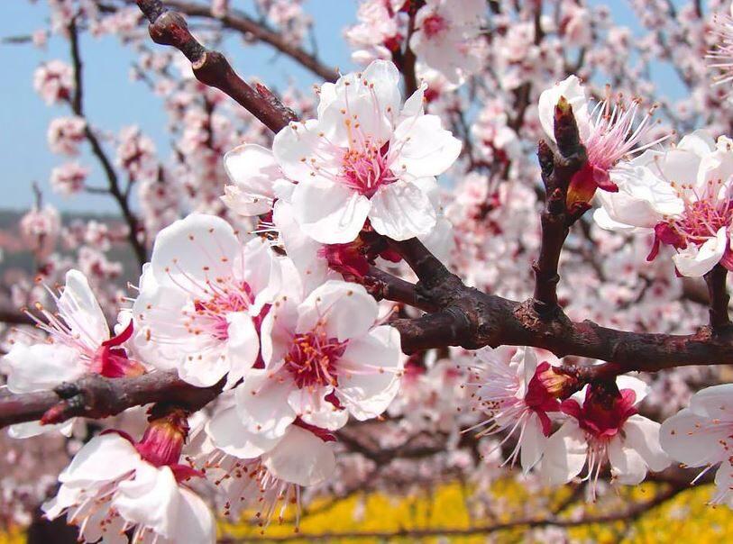 شکوفه های زیبا