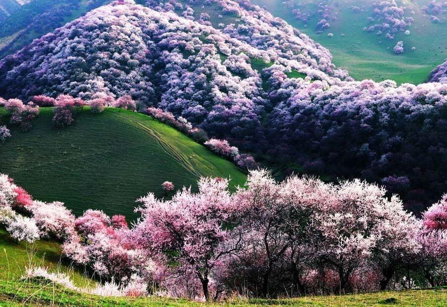 دره زردآلو در چین