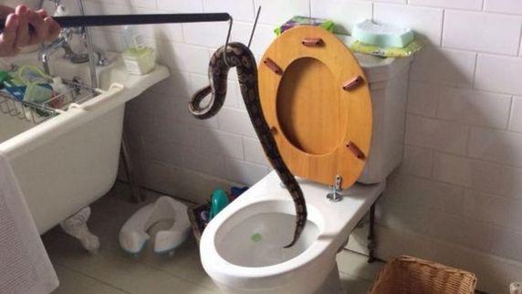 پسر 5 ساله با مار پیتون 3 متری در توالت خانه روبرو شد! + عکس