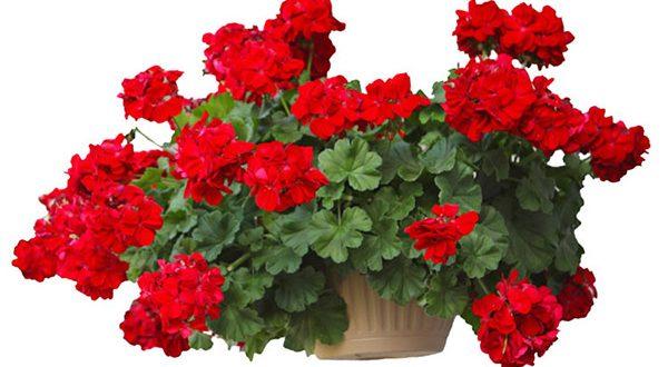 روش تکثیر و نگهداری و قلمه زدن گل شمعدانی