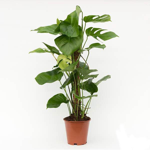 20 گیاه زینتی همیشه سبز در خانه!