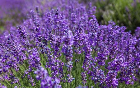 معرفی گیاهان آرام بخش,شناخت گیاهان آرام بخش