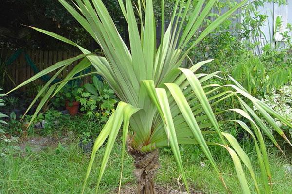گیاه پاندانوس