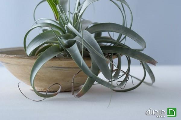 گیاه هوازی