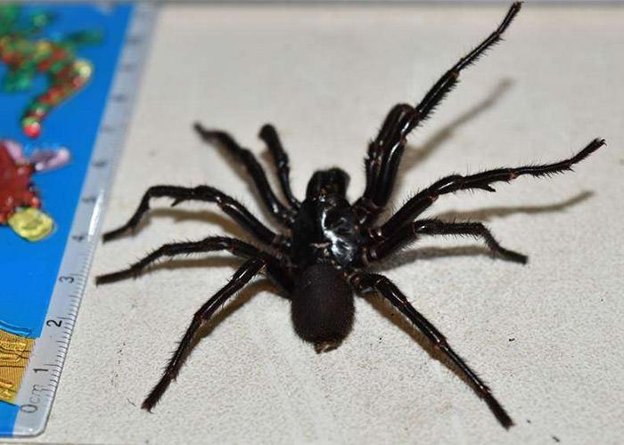 عنکبوت Big Boy