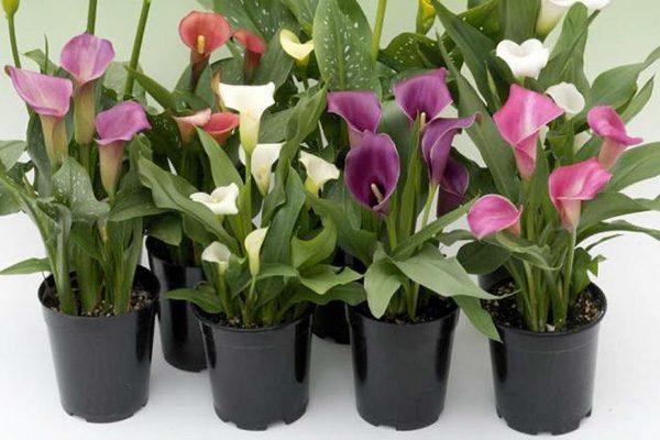 نحوه تکثیر و نگهداری گل شیپوری در آپارتمان
