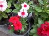 طرز کاشت گل پریوش ونگهداری وقلمه زدن گل
