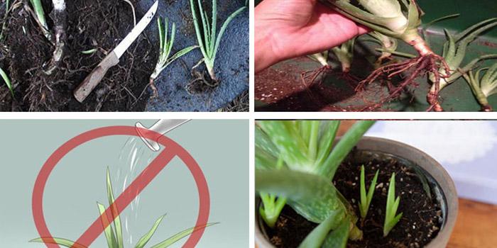 نحوه کاشت آلوورا در گلدان و شرایط نگهداری آن