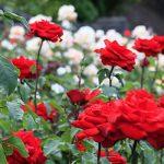 تعبیر خواب گل رز در خواب چیست؟