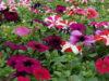 معرفی گلهای مخصوص پرورش در تابستان