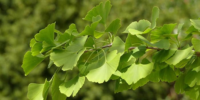 آشنایی با خواص گیاه جینکوبیلوبا