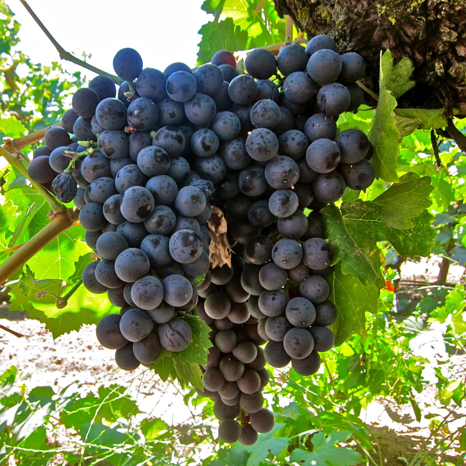 انگور سیاه (مویز): از خواص بی نظیر انگور سیاه غافل نشوید