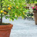 نحوه کاشت لیمو در گلدان