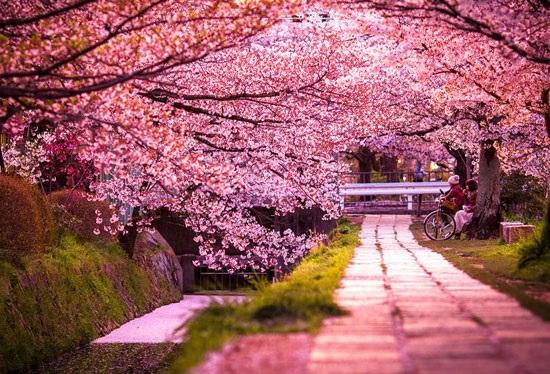 جاذبه های دیدنی کیوتو شهر شکوفه های گیلاس