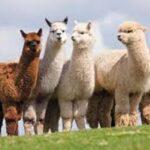 امید محققان به ساختن واکسن کرونا با کمک شتر لاما