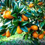 خاصیت میوه کامکوات برای سلامتی کدام است ؟