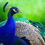 تعبیر خواب طاووس
