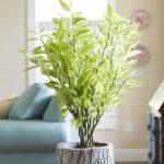 گل پدیلانتوس/شرایط نگهداری و پرورش گل پدیلانتوس