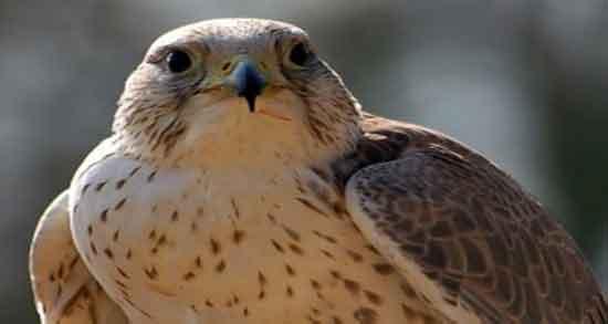 تعبیرخواب پرنده شکاری شاهین