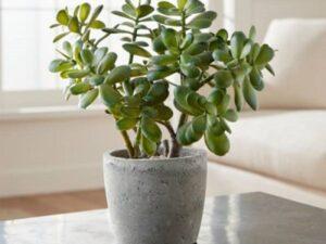 مشخصات گیاه کراسولا
