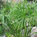 گیاه نخل مرداب و نحوه پرورش و نگهداری آن