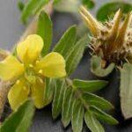 10خواص گیاه خار خاسک/ خواص گیاه خار خاسک برای باروری زنان و مردان