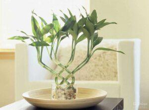 گل بامبو