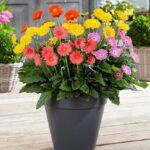 گل ژربرا با رنگ های جذاب و متنوع،نماد شادی