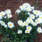 شرایط کاشت و مراقبت از گل مارگریت در باغچه