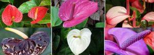 انواع گل آنتوریوم